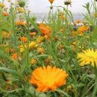 The flowers speak for themselves! Splendour in the polytunnel.